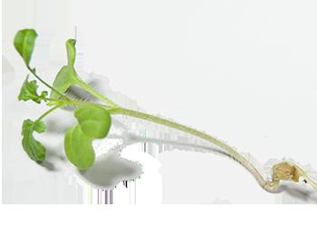 Germogli di senape