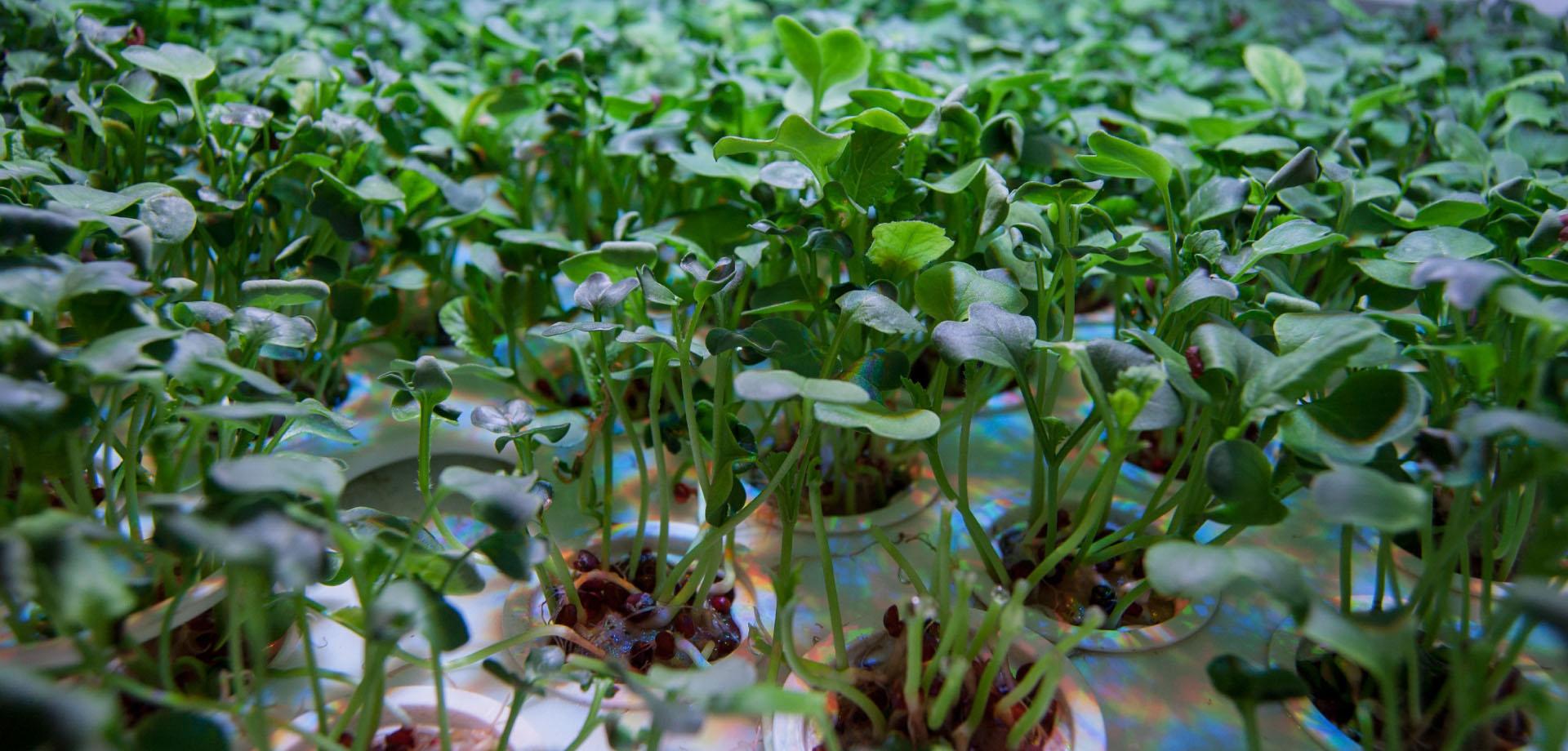 Verdura fresca serra per interni
