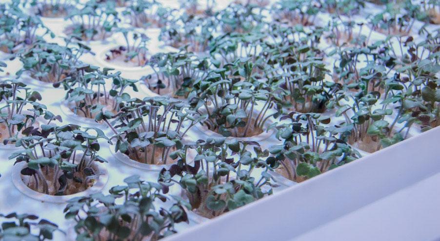 Verdura coltivata in casa
