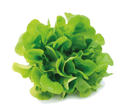 Growing lettuce indoor