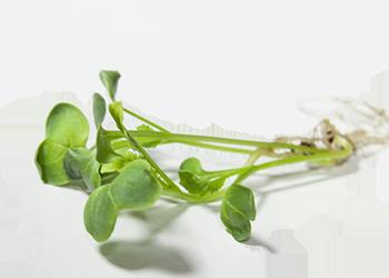 Germogli di ravanello