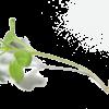 Weiße Senfsprossen