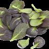 Tatsoi sprouts