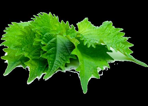 Grüner Shiso