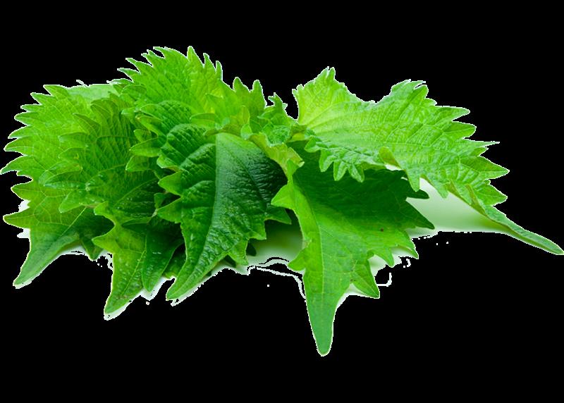 Green Shiso