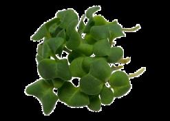 Brokkolisprossen